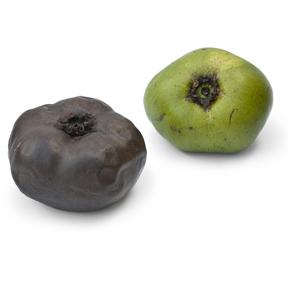 Ripe and unripe black sapote fruit