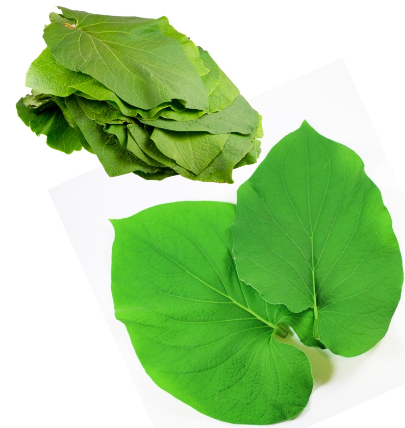 large leaves of hoja santa