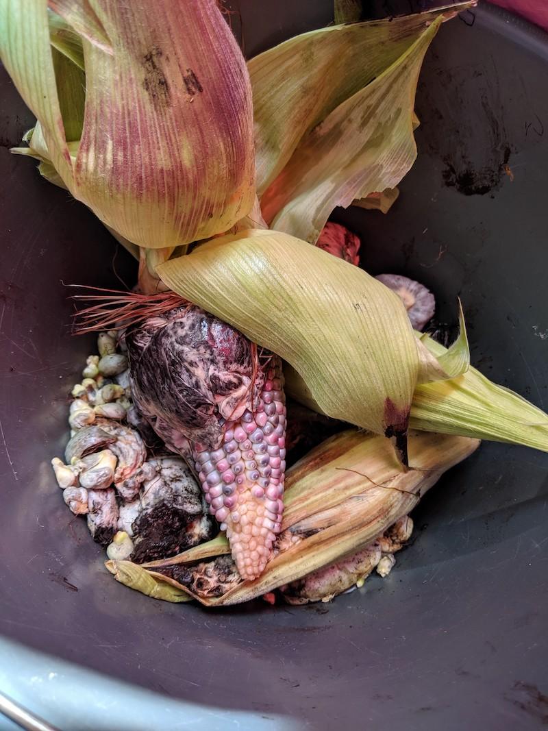 huitlacoche or corn fungus on cob of pink kernel corn
